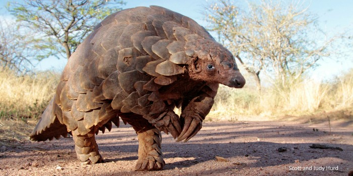 most endangered animal in the world - Pangolins